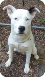 Siberian Husky/Husky Mix Dog for adoption in Gary, Indiana - Tony