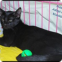 Adopt A Pet :: Macy's Blackie - White Settlement, TX