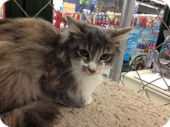 Domestic Longhair Cat for adoption in Tracy, California - Sarah