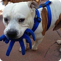 Adopt A Pet :: PUFF - Van Nuys, CA