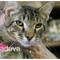 Adopt A Pet :: Padova - Wichita Falls, TX