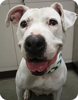 American Bulldog Mix Dog for adoption in Union Grove, Wisconsin - Snow