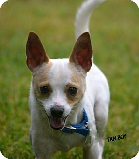 Chihuahua Dog for adoption in Independence, Missouri - Tan Boy