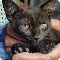 Domestic Shorthair Kitten for adoption in Tampa, Florida - Fiona