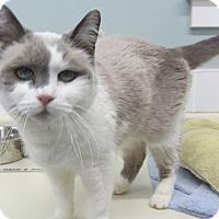 Adopt A Pet :: KitKat - Kingston, WA