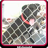 Labrador Retriever Mix Dog for adoption in Malvern, Arkansas - MIDNIGHT