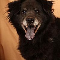 Adopt A Pet :: Lady Chowmix - St. Louis, MO