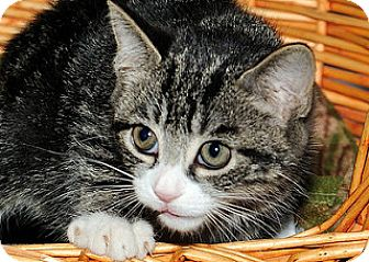 Domestic Shorthair Kitten for adoption in Gatineau, Quebec - Finn