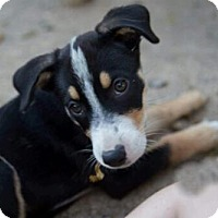 Australian Shepherd Mix Puppy for adoption in Dallas, Texas - Lilly