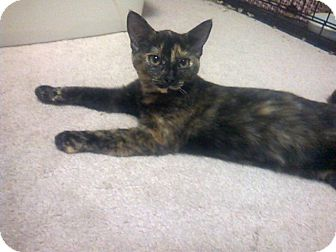 Domestic Shorthair Kitten for adoption in Raleigh, North Carolina - PEPPER