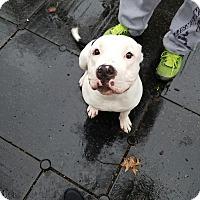 Adopt A Pet :: Polo - New York, NY