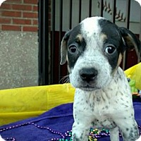 Adopt A Pet :: Gator - Des Moines, IA