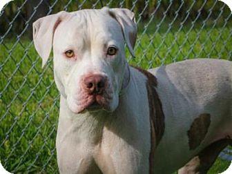 American Bulldog Dog for adoption in West Palm Beach, Florida - KANE