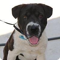 Adopt A Pet :: Samson - Lacey, WA