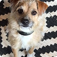 Adopt A Pet :: Poppy - Montpelier, VT
