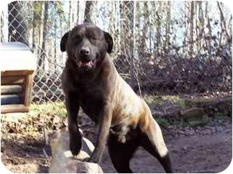 Labrador Retriever/American Staffordshire Terrier Mix Dog for adoption in Winnsboro, South Carolina - Bubba