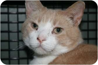 Domestic Shorthair Cat for adoption in Walkersville, Maryland - Butterscotch and Salem