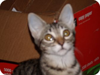 Domestic Shorthair Kitten for adoption in Scottsdale, Arizona - Bree