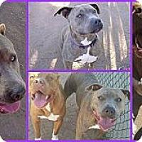 Adopt A Pet :: Beatrix - Scottsdale, AZ
