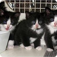 Adopt A Pet :: Maine Coon x kittens - Dallas, TX