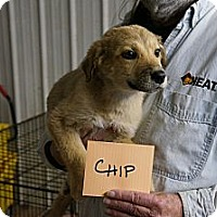 Adopt A Pet :: Chip - Conway, AR