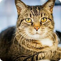 Domestic Shorthair Cat for adoption in Cody, Wyoming - KiKi