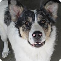 Australian Shepherd Mix Dog for adoption in Buffalo, Wyoming - Pretty