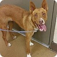 Adopt A Pet :: Benji - Las Vegas, NV
