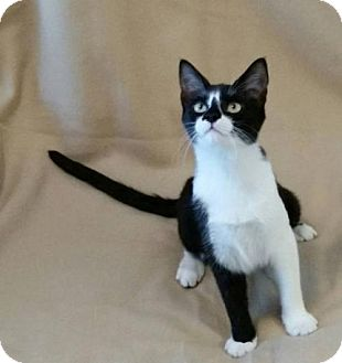 Domestic Shorthair Cat for adoption in Drippings Springs, Texas - Andrew