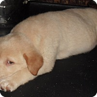 Adopt A Pet :: LAB PUP - Pompton lakes, NJ