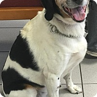 Adopt A Pet :: Abbey -Sweet! at SLARL - Warren, MI