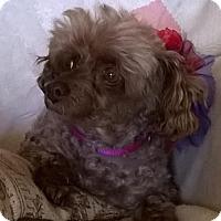 Adopt A Pet :: Cocoa Puff - Campbell, CA