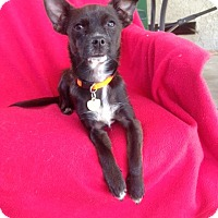 Chihuahua/Terrier (Unknown Type, Small) Mix Puppy for adoption in Studio City, California - Whitney