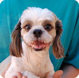 Shih Tzu Mix Dog for adoption in Las Vegas, Nevada - Tommy