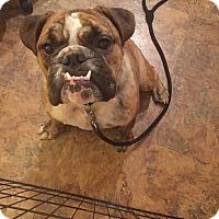 Adopt A Pet :: Dueces - Park Ridge, IL