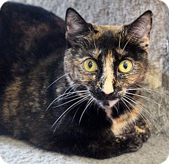 Domestic Shorthair Cat for adoption in Sarasota, Florida - Kate Spade