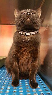 Domestic Shorthair Cat for adoption in Alva, Oklahoma - Lila 1446