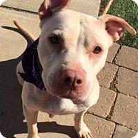 Pit Bull Terrier Mix Dog for adoption in Greensboro, North Carolina - Casey