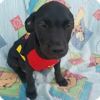 Labrador Retriever Mix Puppy for adoption in Manchester, New Hampshire - Mur - pending