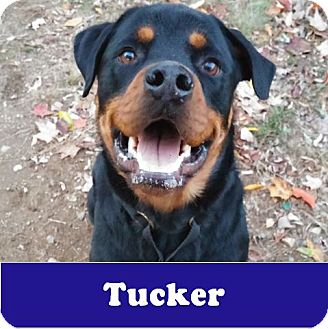 Rottweiler Dog for adoption in Armonk, New York - Tucker