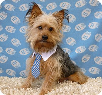 Overland Park Ks Yorkie Yorkshire Terrier Mix Meet