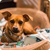 Adopt A Pet :: Malcolm - Fremont, CA
