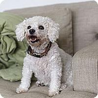Adopt A Pet :: Dior - Rigaud, QC