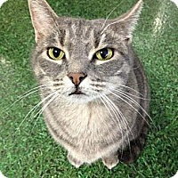 Adopt A Pet :: Little Kitty - Chandler, AZ