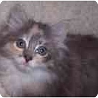 Adopt A Pet :: Contessa ('Tessa') - Arlington, VA