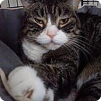 Adopt A Pet :: CHEYENNE - Huntington Station, NY