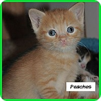 Adopt A Pet :: Peaches - Miami, FL