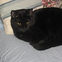 Domestic Shorthair Cat for adoption in Cincinnati, Ohio - zz 'Tina' courtesy post