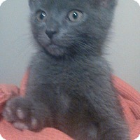 Adopt A Pet :: Smokey Blue - Lawrenceville, GA
