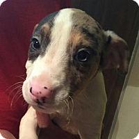 Adopt A Pet :: Hawkins - Dumfries, VA